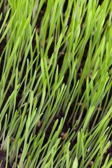 Проросшие зеленые ростки пшеницы или других злаков на черной плодородной почве, крупный план деревенской фермы