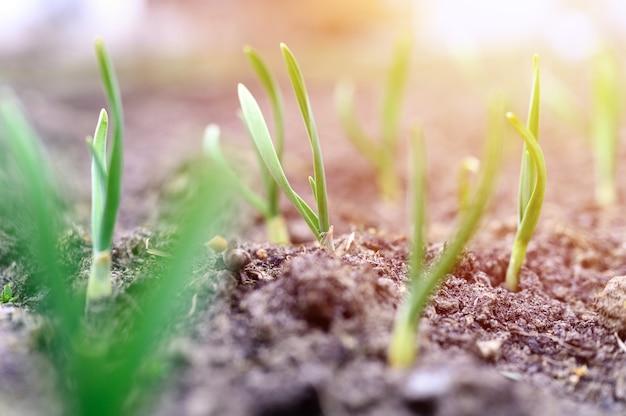Проросший чеснок растет в земле на грядке. выборочный фокус. вспышка