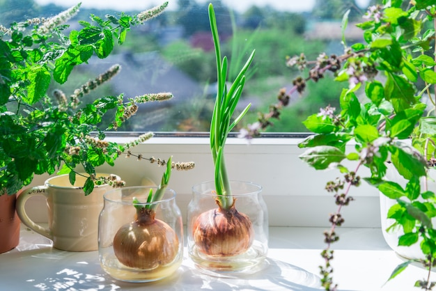 A sprouted onion on the windowsill