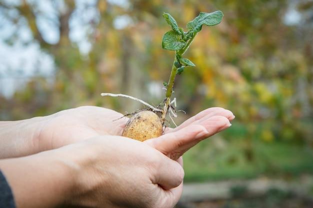 女性の手に緑の葉を持つ発芽ジャガイモ塊茎。
