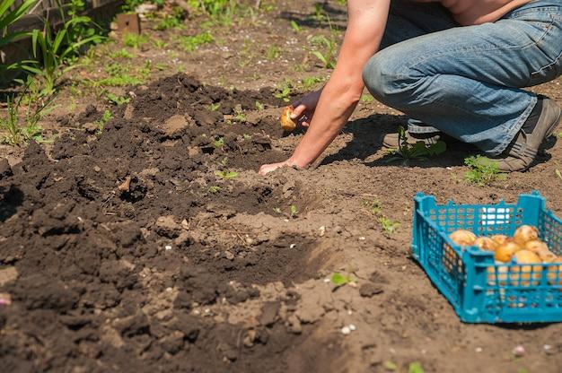 発芽ポテトのクローズアップ。男は春にジャガイモを座って、スペースをコピーします。