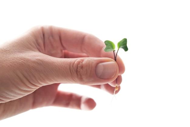 発芽大根種子マイクログリーン。アースデー。自宅での種子の発芽。