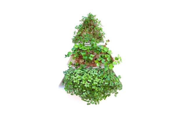 発芽大根はマイクログリーンを播種します。自宅での種子の発芽。成長するもやし。
