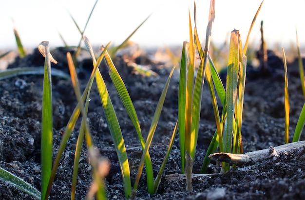 싹이 트는 밀 곡물은 봄 서리에 의해 손상됩니다. 얼어 붙은 토양에 밀.