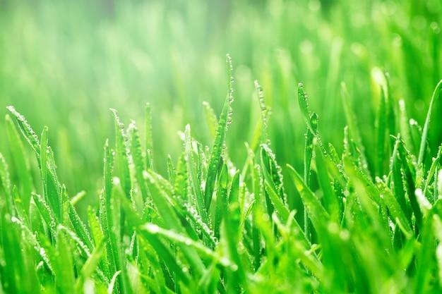싹이 트는 밀 곡물. 집에서 마이크로 그린 발아.