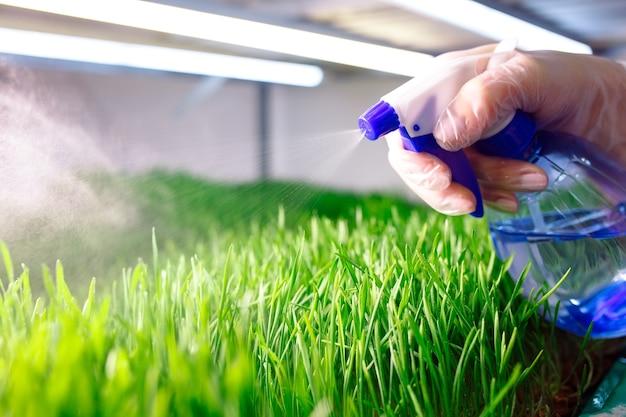 Проросшие зерна пшеницы. проращивание микрозелени в домашних условиях.