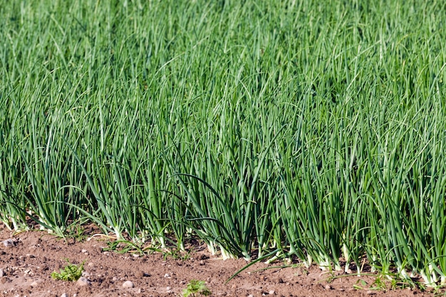 Sprouts green onions - green onions sprouts in the agricultural field, agriculture