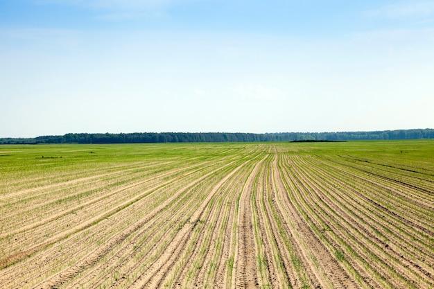 Ростки зеленого лука ростки зеленого лука в сельскохозяйственном поле голубое небо.