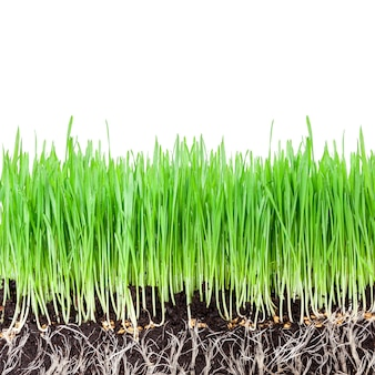 Sprouts of green wheat grass on white wall
