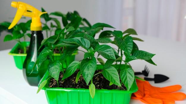 정원 도구와 분무기로 씨앗에서 자란 새싹. 정원용 봄 묘목, 가정 재배
