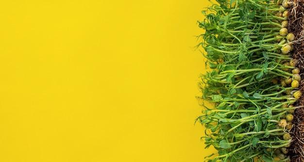 黄色のグリーンピースの芽