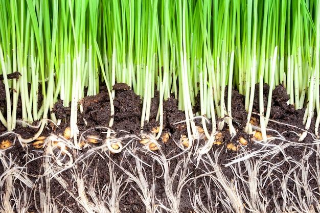 緑の小麦草の背景の芽