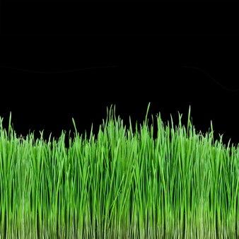 黒い表面に緑の小麦草の芽