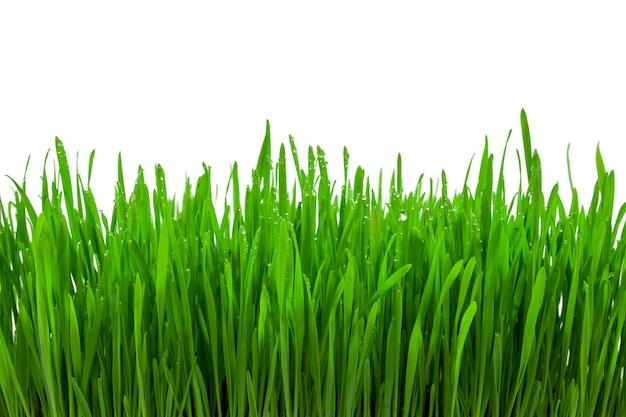 白い背景の上の緑の小麦草のもやし