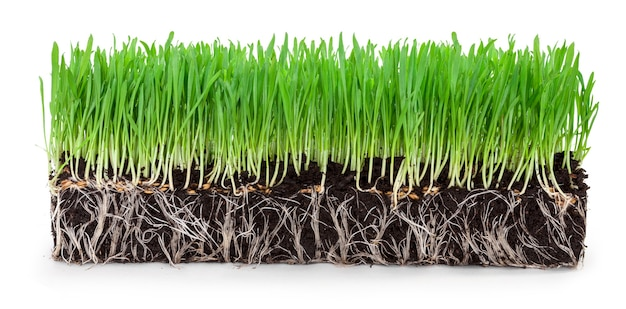 白い背景の上の緑の小麦草の芽