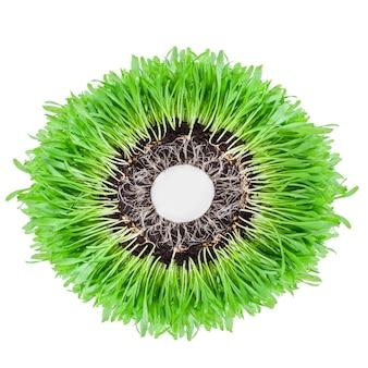 흰색 배경에 녹색 밀 잔디의 콩나물