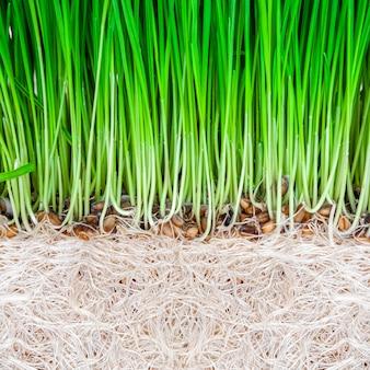 白い表面に緑の小麦草の芽