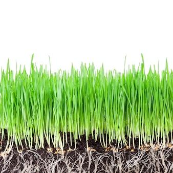 白い壁に緑の小麦草の芽