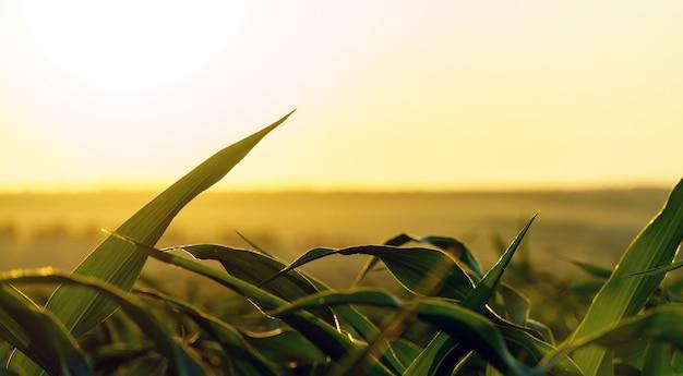 Ростки зеленой молодой кукурузы на фоне заходящего солнца. созревающая кукуруза