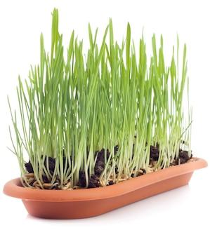 分離されたオーツ麦の芽 Premium写真