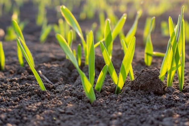 Ростки проросшего зерна в почве молодой ячмень и вечерний солнечный свет