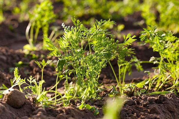 クローズアップで撮影した緑のニンジンの芽。シャープネスの深さが小さい