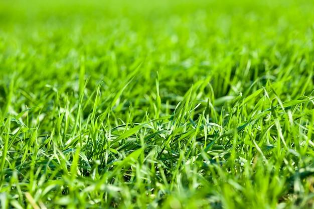成長と発達の間の農地での小麦または他の穀物の芽
