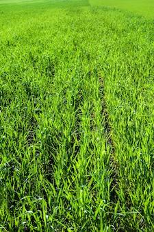 太陽に照らされた小麦やライ麦の芽、地面に溝のある緑の若い草の列