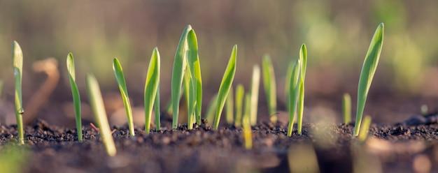 흙에서 갓 싹을 틔운 어린 보리나 밀의 싹. 농업 분야에 싹이 튼 곡물 잎의 파노라마를 닫습니다.