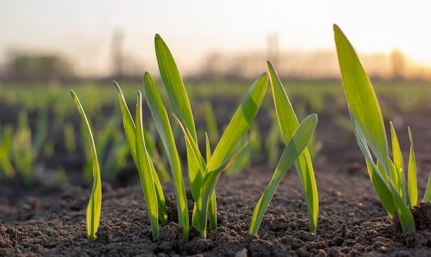 흙에서 갓 싹을 틔운 어린 보리나 밀의 싹이 농작물이 있는 들판 위로 새벽이 옵니다.