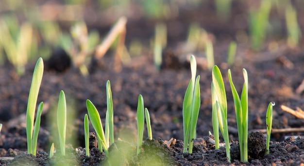 토양에서 방금 싹이 트는 어린 보리 또는 밀의 새싹