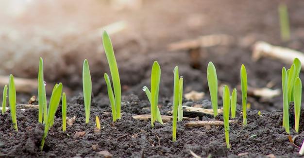 농업 분야의 토양에서 싹이 트는 어린 보리의 새싹