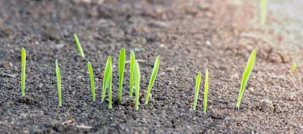 농업 분야의 토양에서 어린 보리의 새싹이 돋아났습니다.