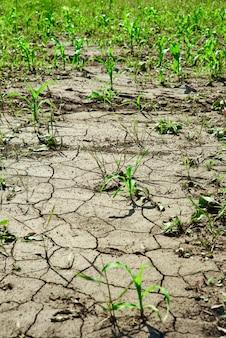 干ばつでひび割れた土地の若い緑のトウモロコシの芽、水がない場合の農業の問題
