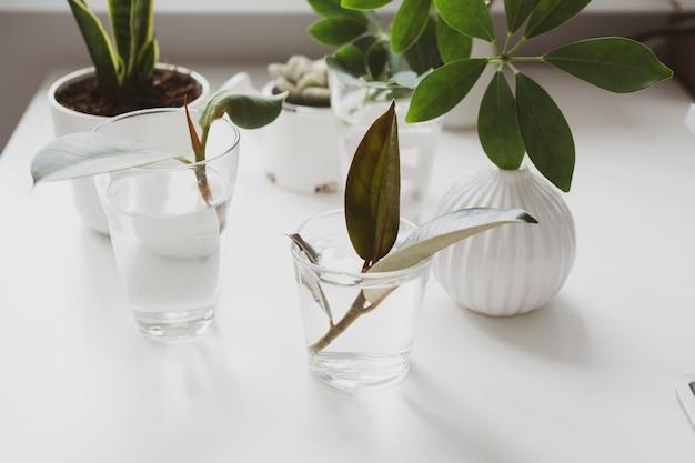 Ростки молодых комнатных растений в стакане воды