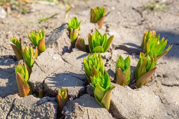 ひびの入った地面から発芽する若いユリの球根の芽