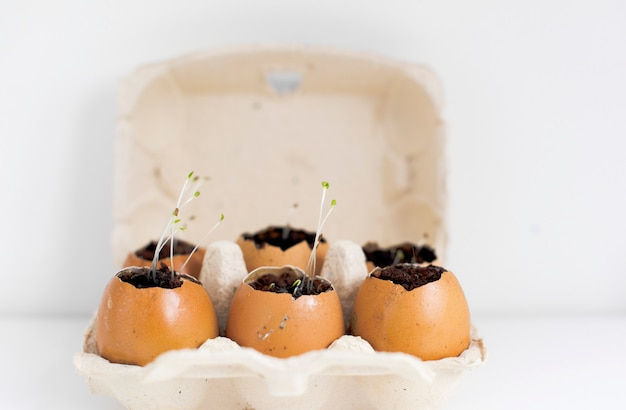 Sprouts seedling plants in eggshells.