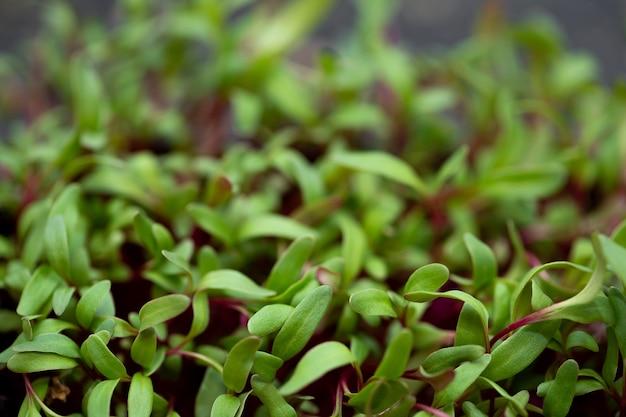 野菜ビート、マイクロ、マイクロジーンを芽キャベツ