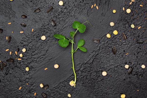 エンドウ豆の野菜、マイクログリッド、健康食品を発芽させます。