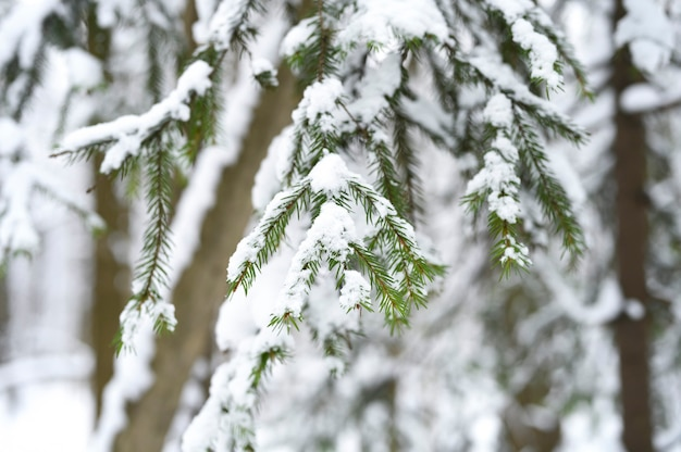 The spruce branch of the christmas tree is covered with snow in the snowy winter forest