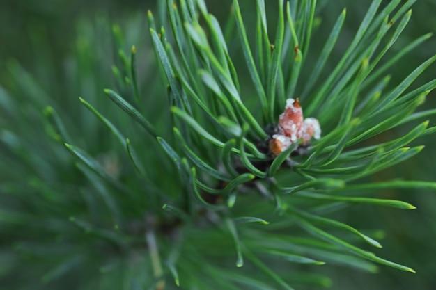 トウヒの枝のクローズアップ-自然な背景
