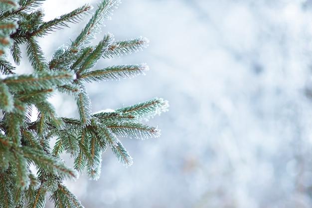 ぼやけた背景に霜で覆われたトウヒの枝。