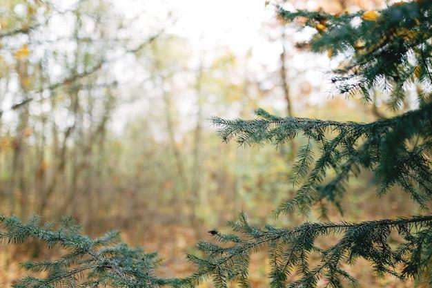 숲에서 가문비 나무 지점, 숲에서 나무.