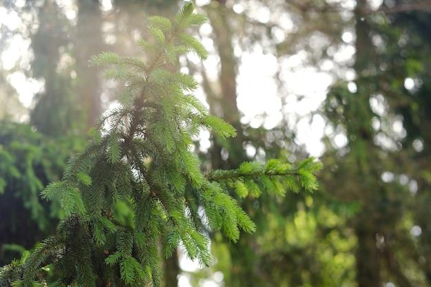 自然の森のトウヒの枝。