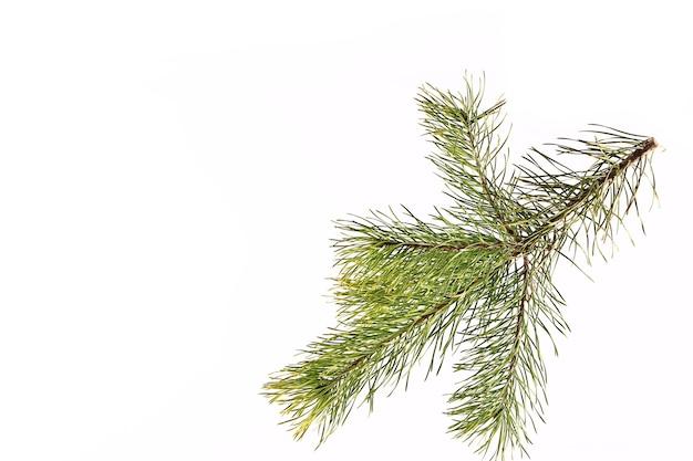 明るい背景のトウヒの枝