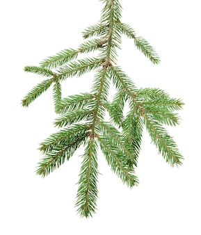 Spruce branch with green needles isolated
