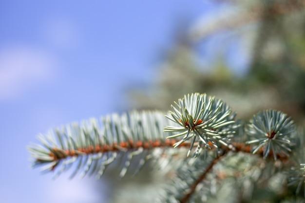 푸른 하늘 배경에 바늘이 있는 가문비나무 가지, 복사 공간이 있는 흐릿한 배경