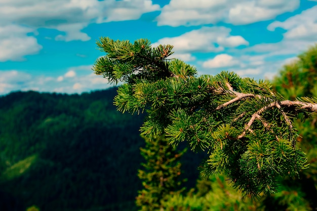 夏の山を背景にトウヒの枝