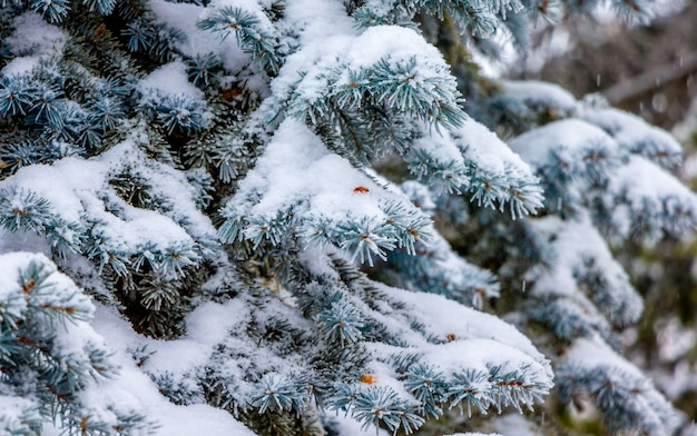 トウヒの枝は厚い雪の層で覆われています。雪の降る冬_