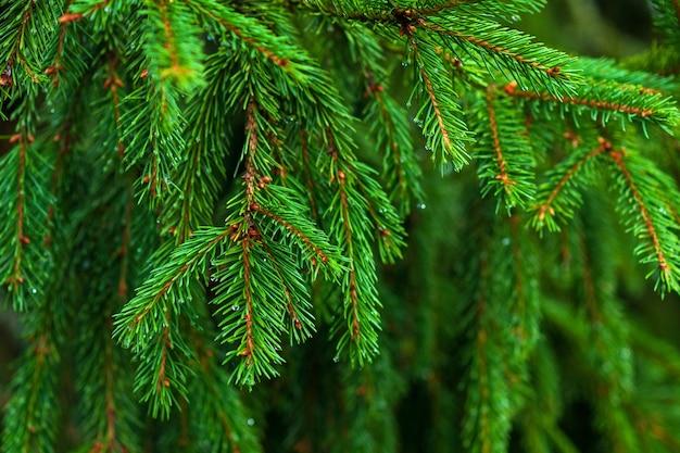 Spruce branches closeup (caucasian spruce, oriental spruce), green conifer tree twigs